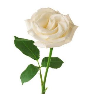 gambar bunga mawar indah 9