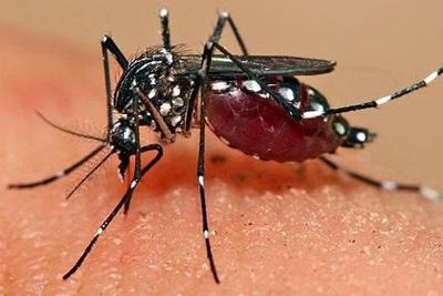Cara Mengobati Chikungunya dengan Jahe Merah