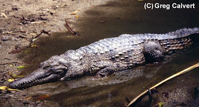 cocodrilo de Johnston Crocodylus johnstonii