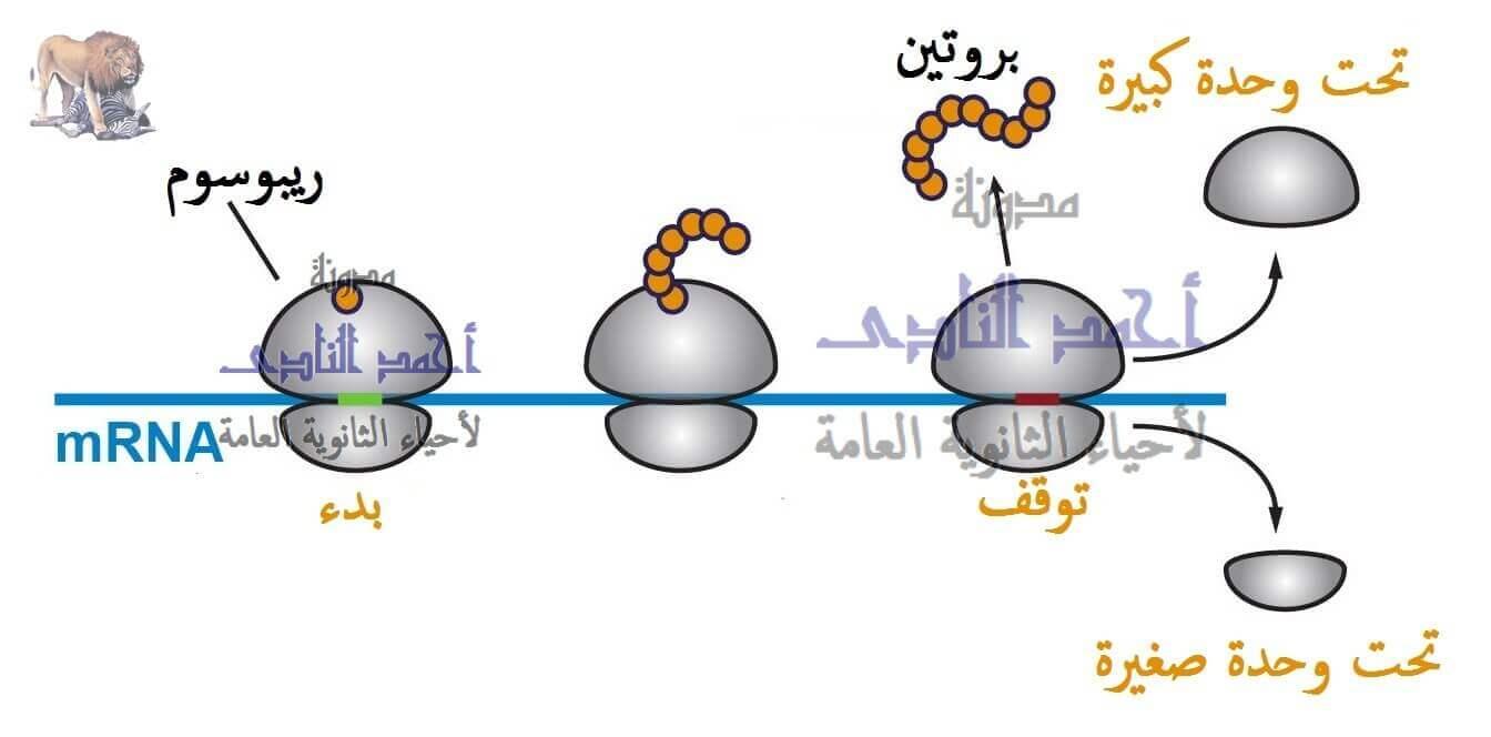 تخليق البروتين – أحياء الثالث الثانوى -  معقد بناء البروتين – الريبوسومات – T.RNA  -  M.RNA