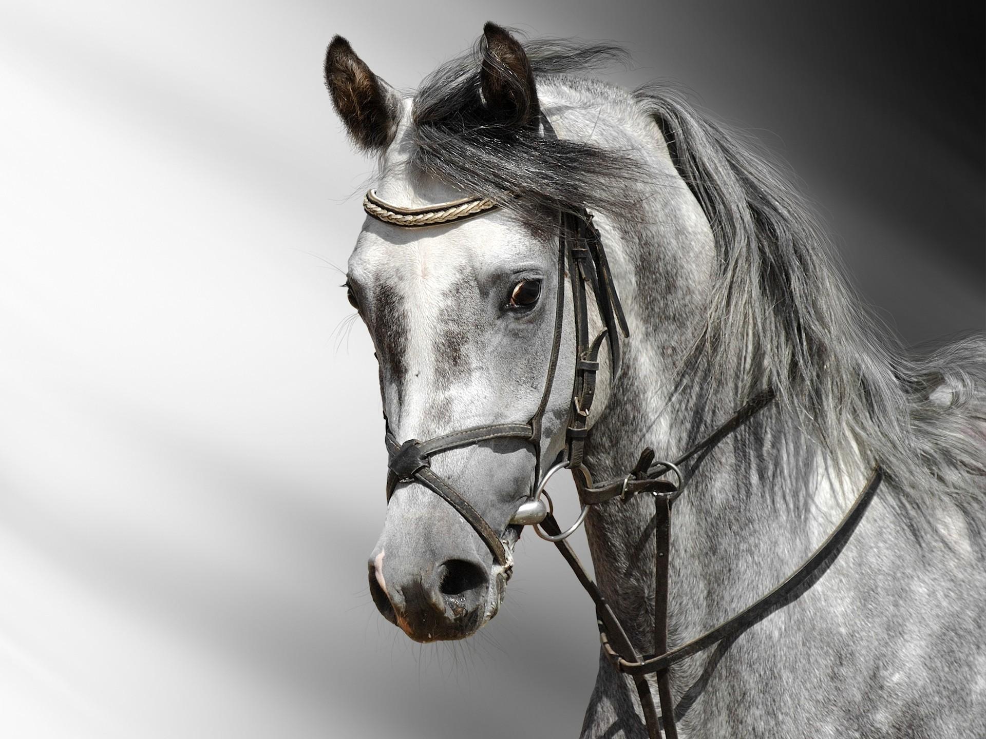 خلفيات خيول عربية اصيلة