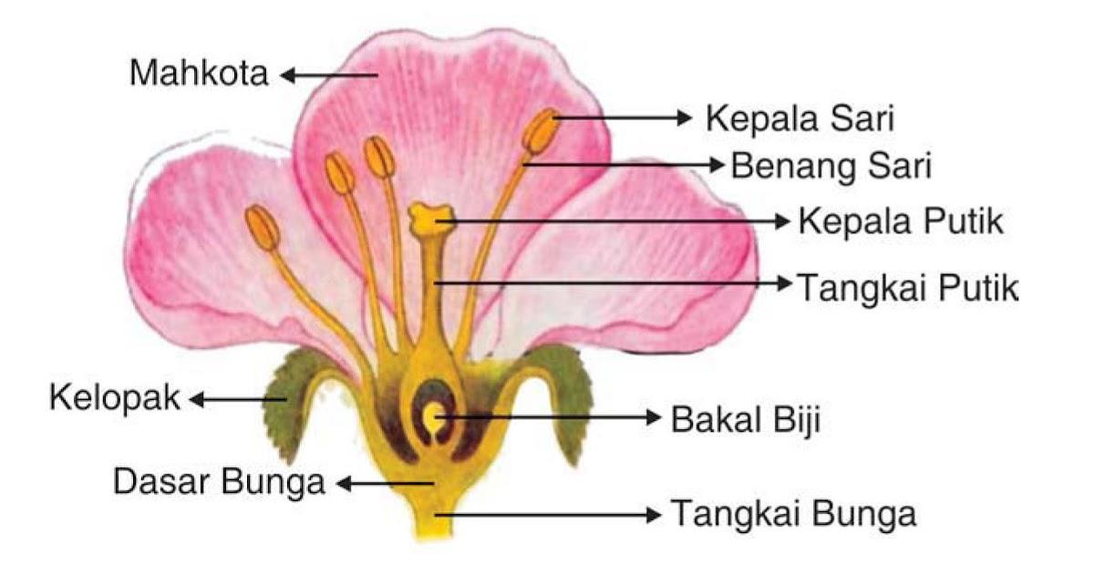 57 Gambar Bunga Mawar Dan Fungsinya Terpopuler