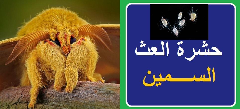 حشرة العث السمين