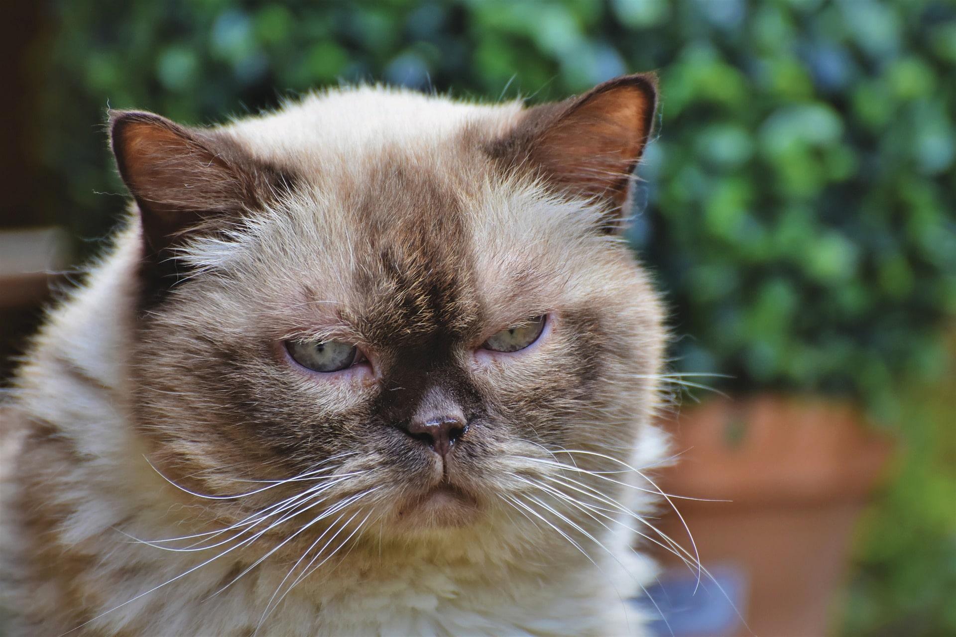 Boules de poils chez les chats : Causes, symptômes, traitement et prévention