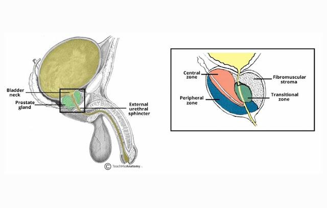 Kelenjar Prostat merupakan organ yang berfungsi untuk memproduksi dan menyimpan sejenis c Kelenjar Prostat : Pengertian, Struktur, Fungsi