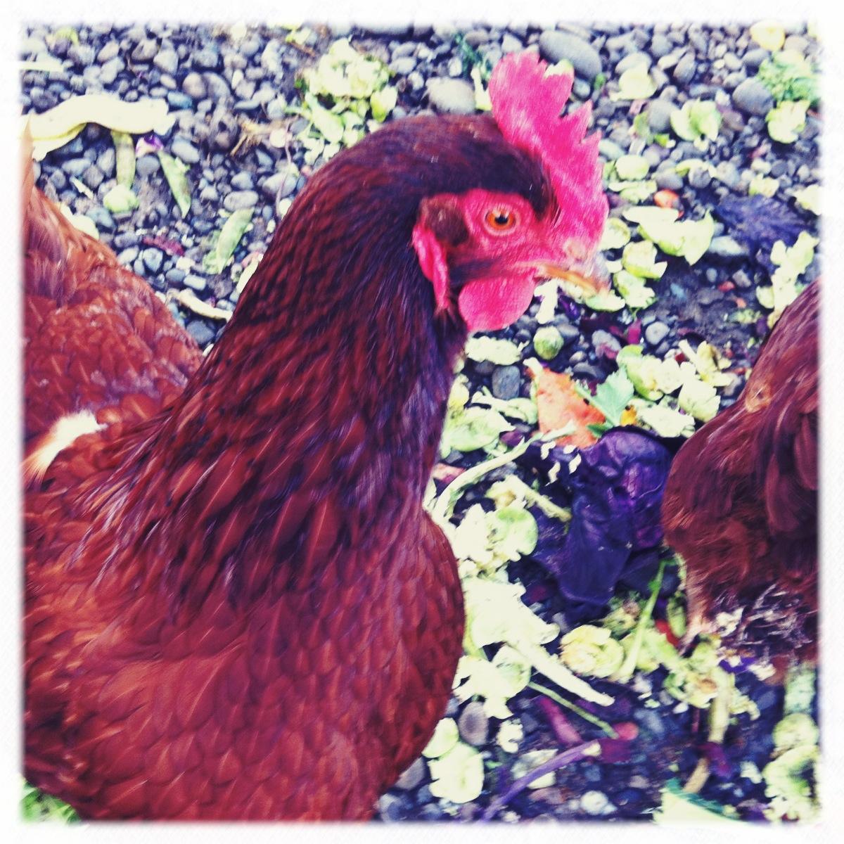 Chicken Chronicles