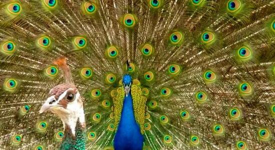 Unduh 1010+ Foto Gambar Burung Merak Warna Warni HD Terbaru Free