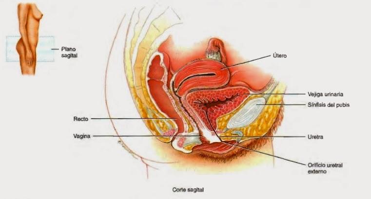 Uréter, uretra - Sistema urinario