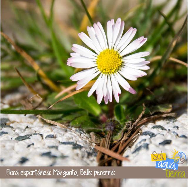 Flora espontánea de Asturias: Margarita, Bellis perennis