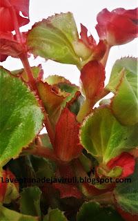 begonia-flor-de-azucar