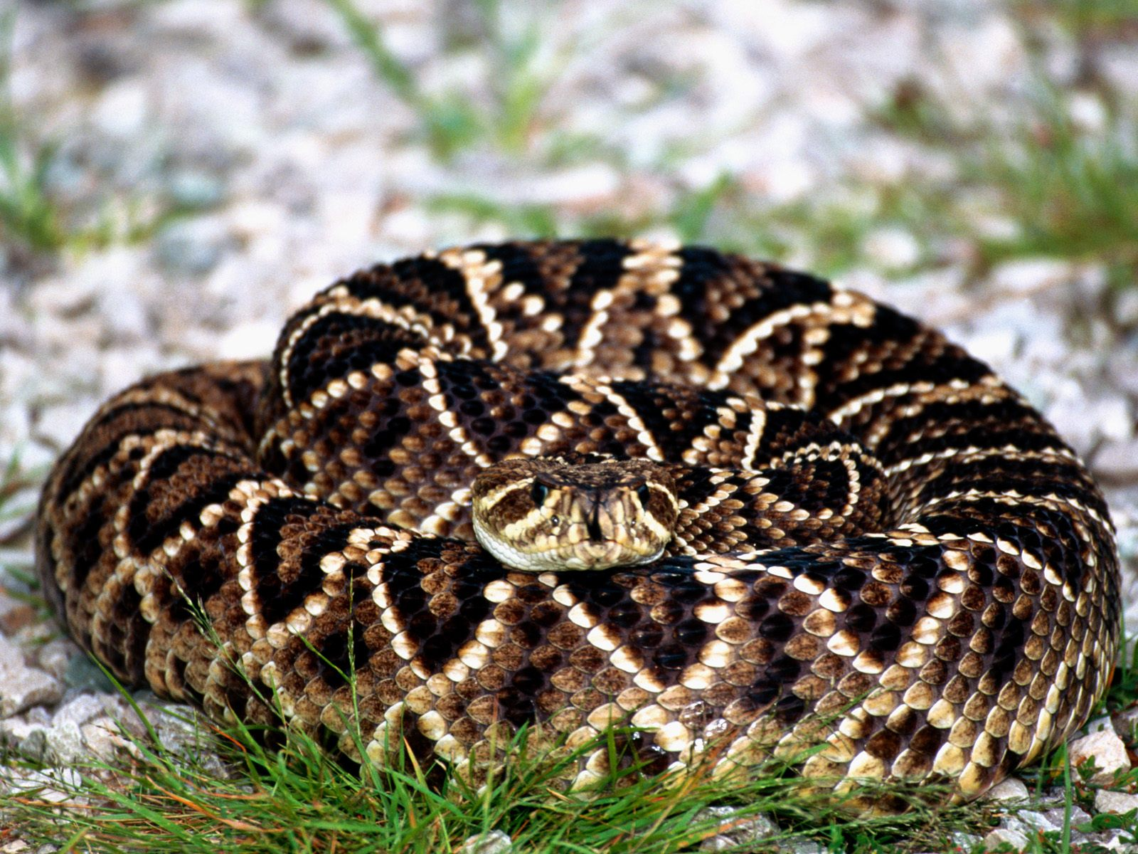 encountered two of these large eastern diamondback rattlesnakes ...