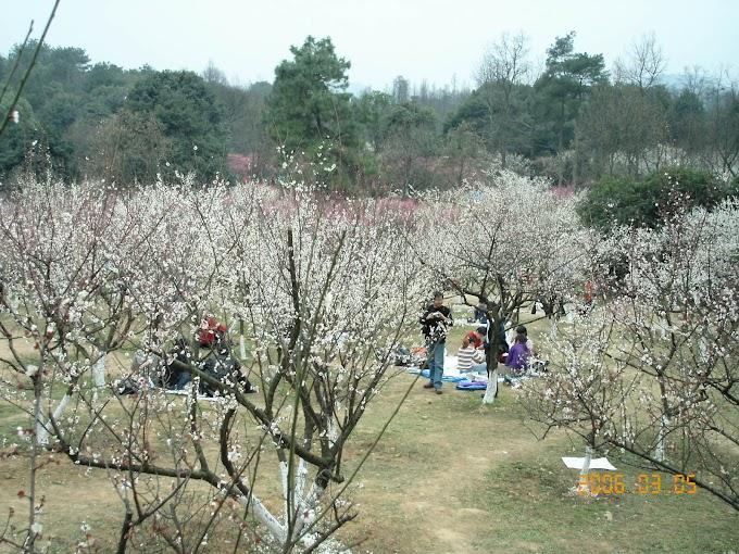 杭州靈峰探梅 2006年學長姐跟同期一起去賞花 【中部】-張傑克