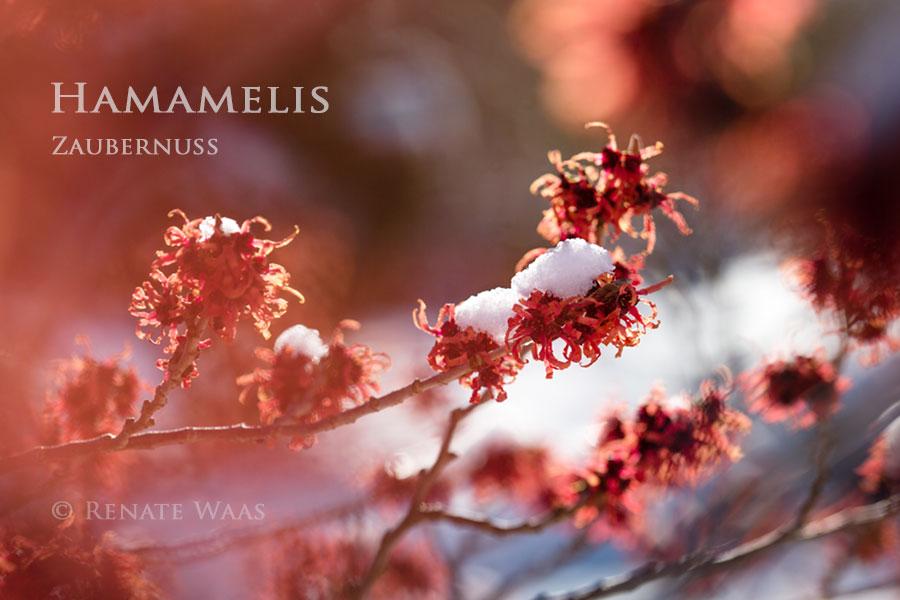 Hamamelis - die Zaubernuss ist eine der attraktivsten Winterblüher bei uns im Garten