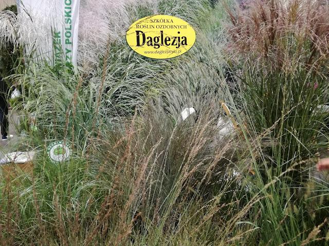 trawy z Daglezji