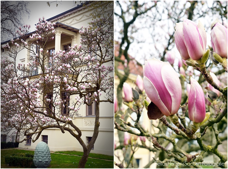 Potsdam Magnolie