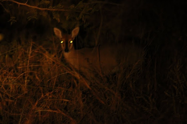 A duiker seen at night