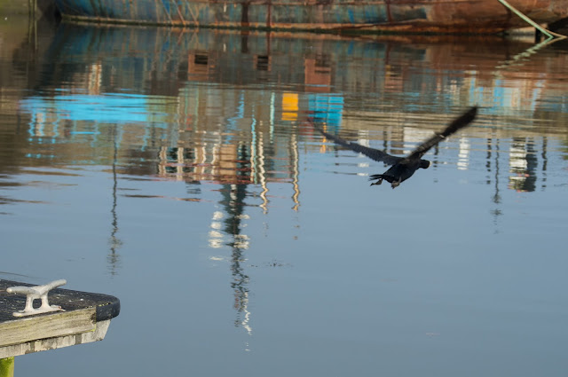 Photo of the adult cormorant taking flight