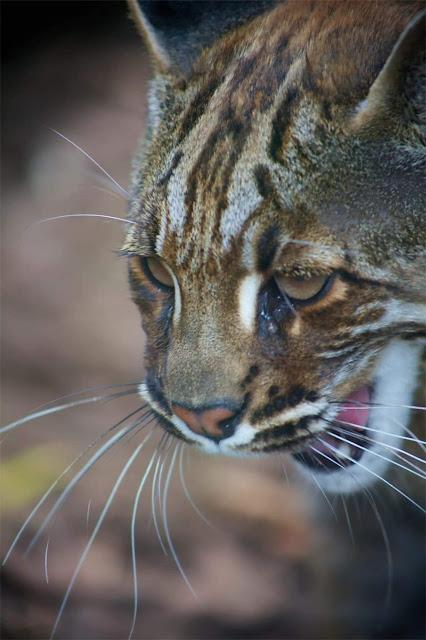 Kucing Emas Borneo  Kembali Ditemukan