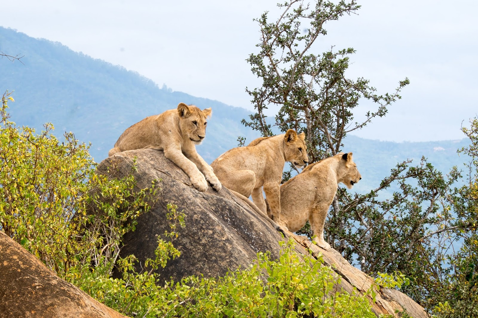 three lions sitting on rock formations at daytime,lion images