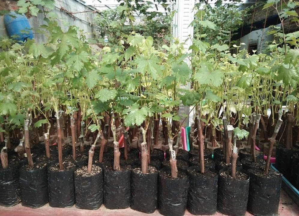 Bibit anggur import black finger Grafting Bogor