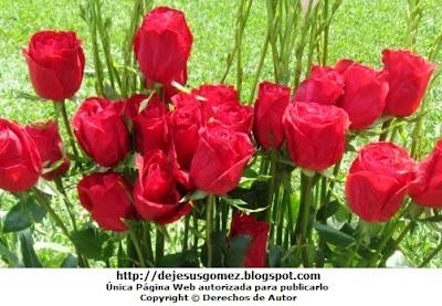 Imagen de Rosas rojas. Foto tomada por Jesus Gómez