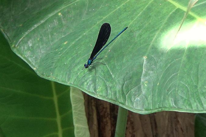 Dlium Nila flashwing (Vestalis luctuosa)