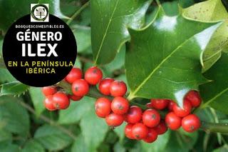 El género Ilex son aboles y arbustos perennifolios, con hojas alternas, simples, coriáceas y lustrosas