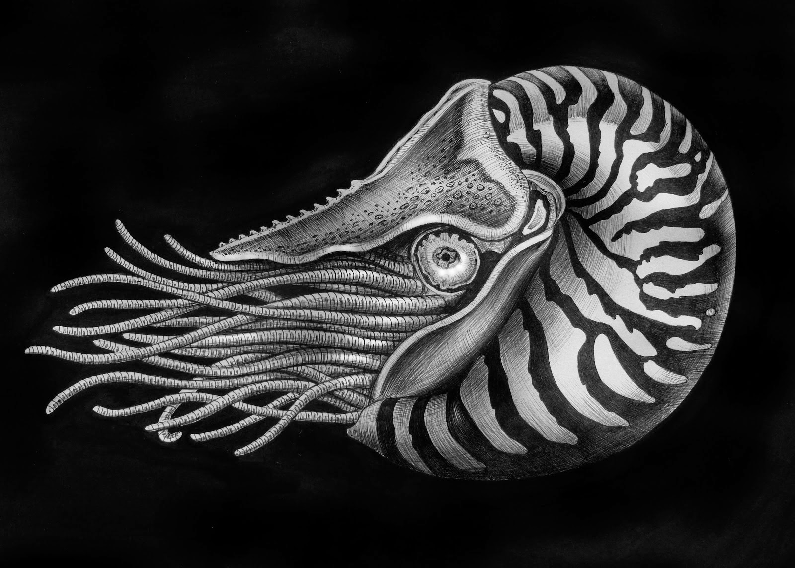 07-Nautilus-Tim-Jeffs-All-Creatures-Great-and-Small-Ink-Drawings-www-designstack-co