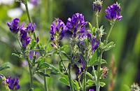 Purple alfalfa flowers on a green stalk.