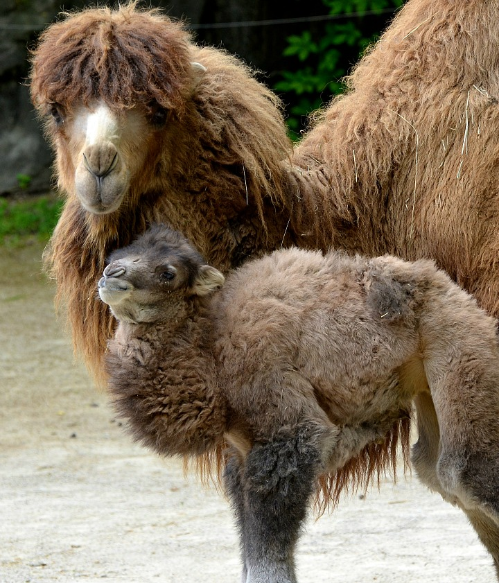 Baby Animals: Camel - Calf 20