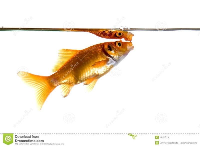 Gambar Ciri Ciri Ikan Hias sakit Atau Stres-Ikan Komet Megap Megap Di Permukaan Air