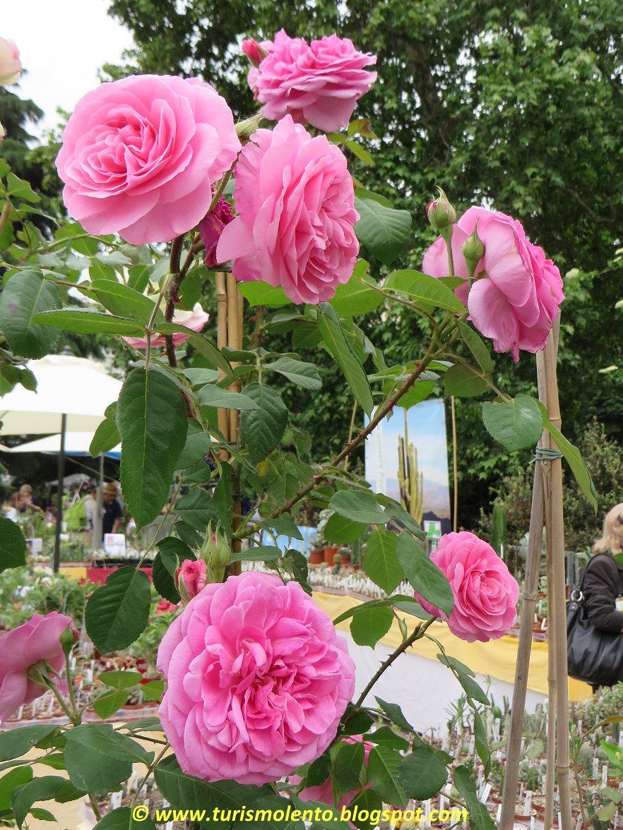 Turismo lento giardini delle rose in italia - Giardino con rose ...