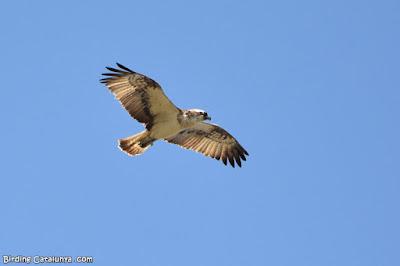 Àguila pescadora (Pandion haliaetus)