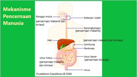 mekanisme pencernaan makanan pada manusia terdiri dari mekanik, kimiawi dan biologis