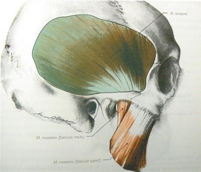 Los músculos de la cabeza: El Temporal - Odontología Virtual