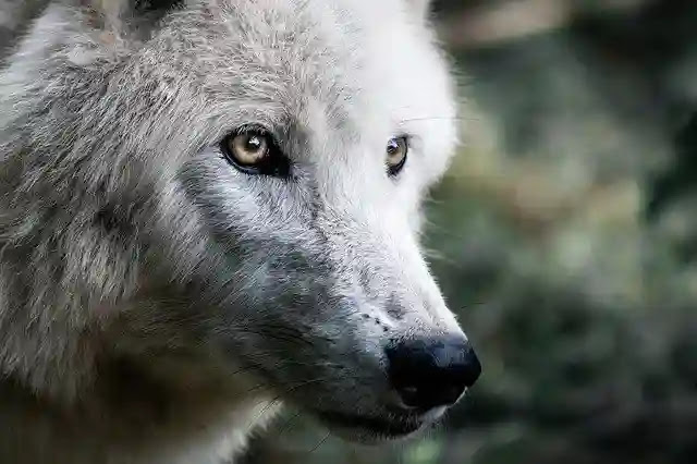 Amazing Facts About Wolf in Hindi