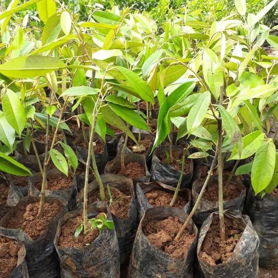 Bibit Durian Bawor Hasil Okulasi Jayapura
