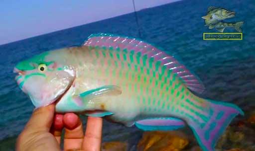 سمك البحر الأحمر _ سمك الحريد