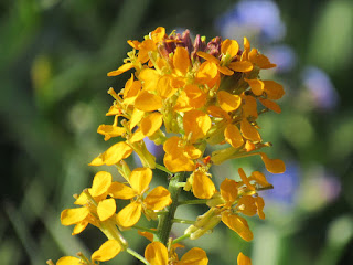 lassen volcanic national park northern california wildflowers