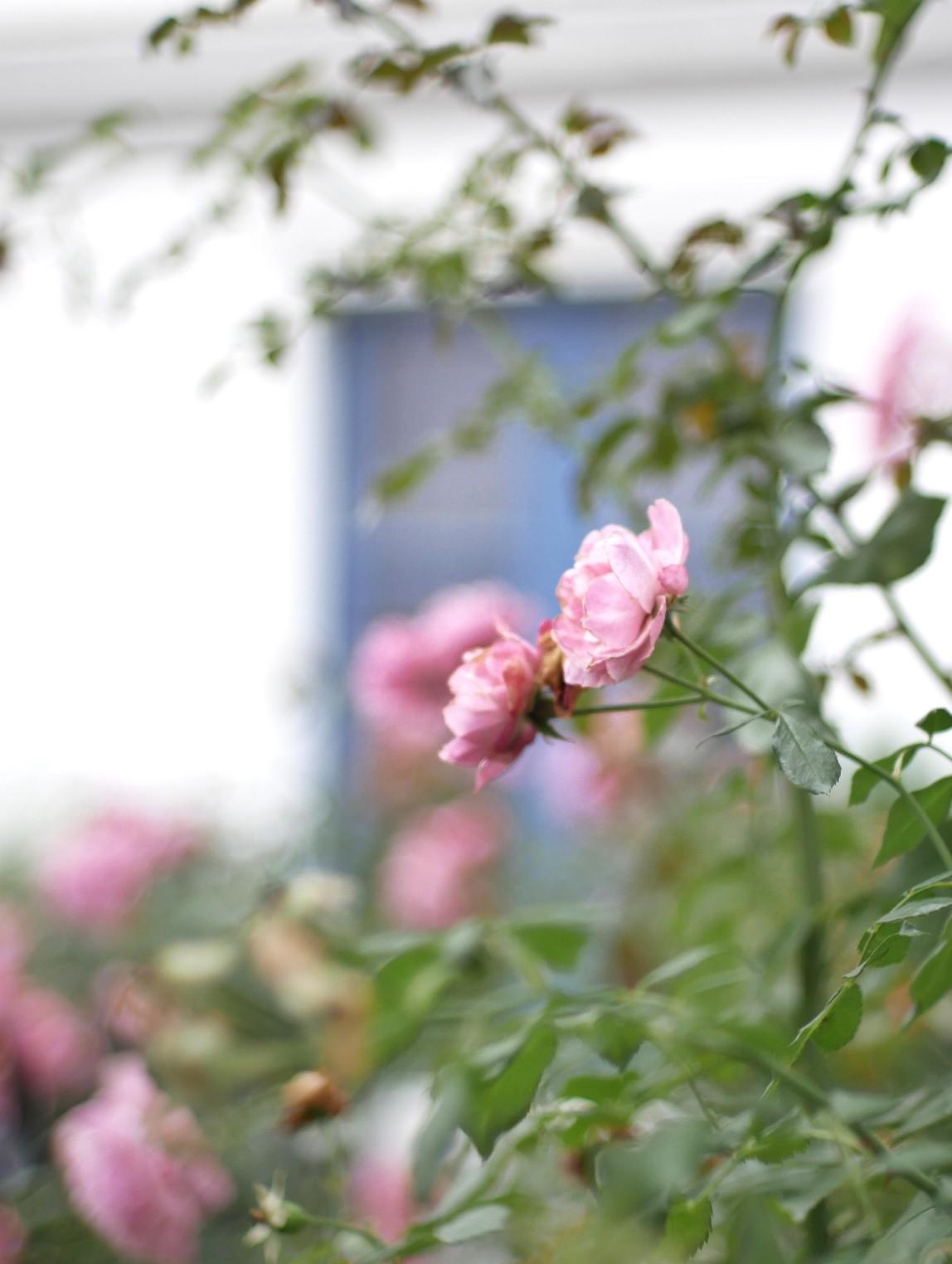 Rosenblüten