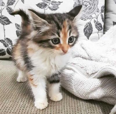 Perawatan Kucing Siprus