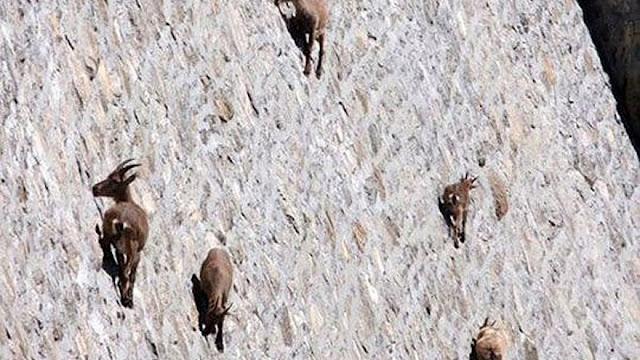 Диви кози изкачват отвесна язовирна стена, не се сещат за гравитацията (ВИДЕО, СНИМКИ)