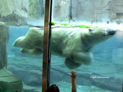 Memphis Zoo Review - Polar Bear Swimming Photo by Sylvestermouse