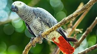 burung-pandai-menirukan-bahasa-manusia_african-grey