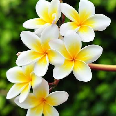 Teh Bunga Kamboja