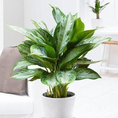 Aglonema (Chinese Evergreen)