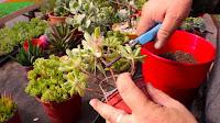 Dos métodos muy faciles para reproducir nuestras suculentas favoritas - 3