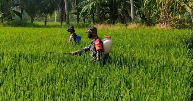 Babinsa Posramil Kutablang Turun ke Sawah Bantu Petani Semprot Hama Padi