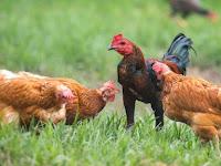Ini Dia 6 Cara Mudah Untuk Mengatasi Korisa (Snot) Pada Ayam