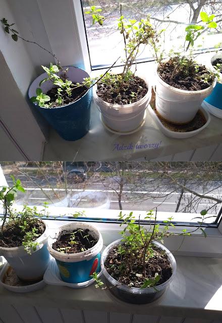 Adzik tworzy - diy ogródek z ziołami w domu